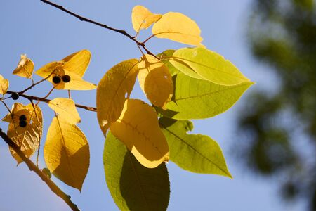 early autumn yellowed leaves against a blue sky.