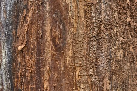 texture of tree bark decorated with patterns left over from the bark beetles.