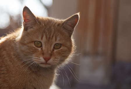 Red cat portrait close-up, against the background of the rays of the sun 免版税图像