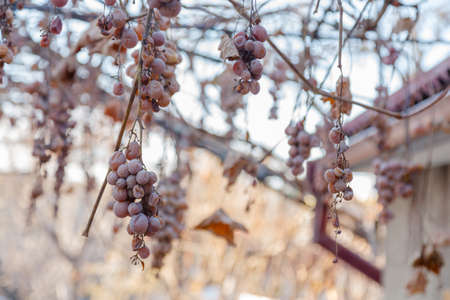 The Missing grape harvest. Hanging bunches of the non-harvested crop.