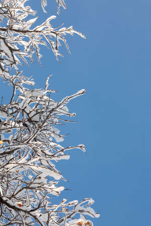 Winter Background with snow branches tree leaves and snowflakes