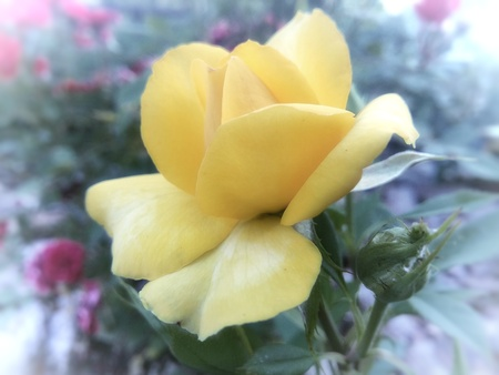 Frozen yellow rose Stock Photo