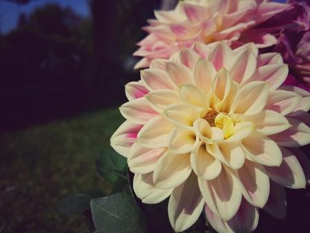 Fleur de lotus Banque d'images - 91229633