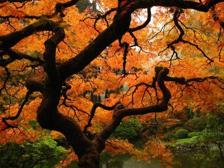 Japanse esdoorn Stockfoto