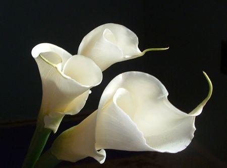 calla lily: Three white calla lilies