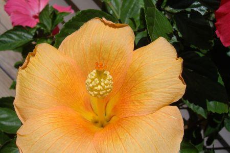 Orange hibiscus with yellow stamin.
