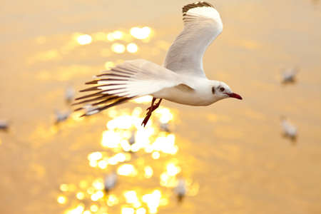 Seagull flying at sunset photo