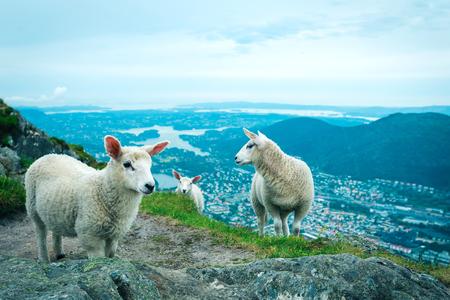 expanse: Herd of sheep grazing on mountain meadow in Bergen, Norway Stock Photo