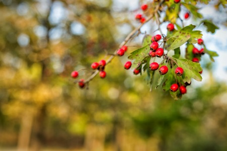Autumn red berries on branches and bokeh background
