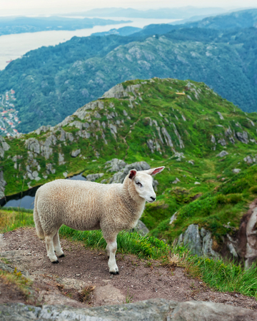 isles: A sheep in the meadow. Norway Stock Photo