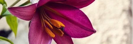 purple lilies in the backyard horizontal, panorama