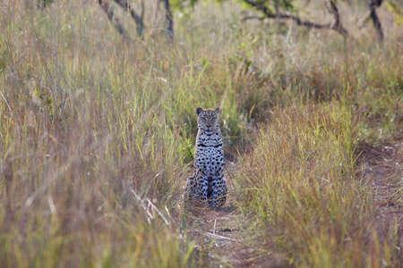 Leopard (Panthera pardus) waiting