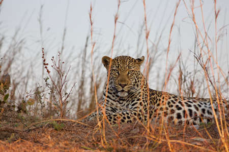 Leopard lying in the shadow in Kafue National Park