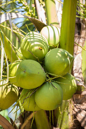 Pile of coconuts with bunches ready for sale photo