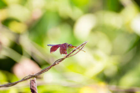 moustached: Resting red dragonfly