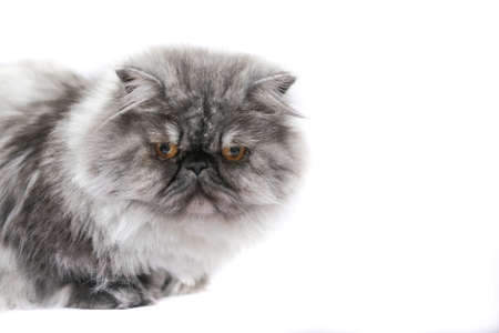 persian cat: Persian cat  in front of white background