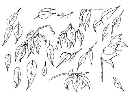 A set of black and white hand-drawn elements. leaves of ficus benjamin on a white background