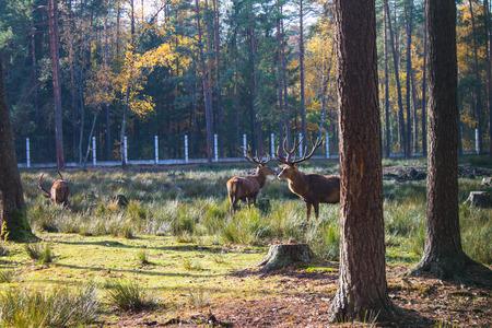 Belarus, Belovezhskaya Pushcha, Deer in the forest of Belovezhskaya Pushcha