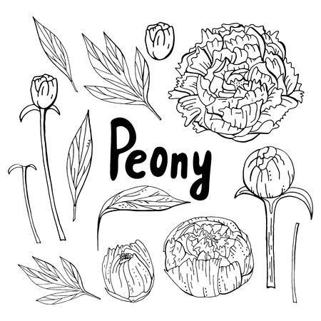 Hand drawn flowers of peonies isolated on white background. Outline vector  peony elements. Spring flowers