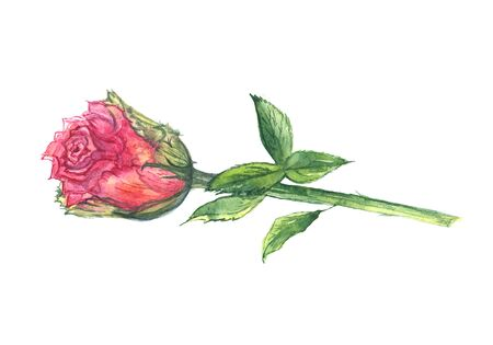 Watercolor hand drawn pink rose isolated on white background.  Separate rose on white