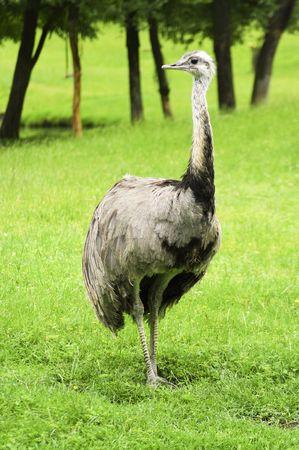 dromaius novaehollandiae: gran emu