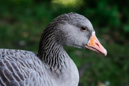 Western Greylag Goose  Anser anser anser  photo