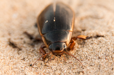 The great diving beetle, Dytiscus marginalis, is a large aquatic diving beetle native to Europe and northern Asia, and is particularly common in England. The great diving beetle, true to its name, is a rather sizable insect. The larvae can grow up to 60 m Stock Photo - 26269697