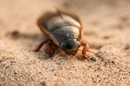 marginalis: The great diving beetle, Dytiscus marginalis, is a large aquatic diving beetle native to Europe and northern Asia