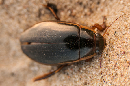 The great diving beetle, Dytiscus marginalis, is a large aquatic diving beetle native to Europe and northern Asia photo