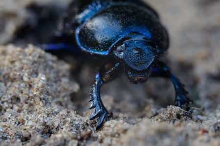 geotrupes: The beetle is up to 2.5 cm (1 in) long.  Stock Photo