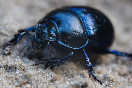The beetle is up to 2.5 cm (1 in) long.  Stock Photo