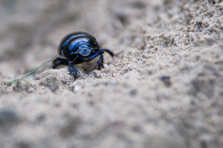 geotrupes: The beetle is up to 2.5 cm (1 in) long.