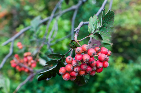 service tree: Sorbus hybrida (Swedish service tree) is a species of whitebeam native to Scandinavia in Norway, eastern Sweden, and southwestern Finland, and locally in the Baltic States in Latvia. Stock Photo