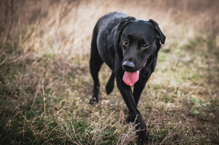 Black labrador dog Stock Photo