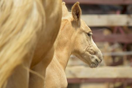 babyhood: Little palomino foal