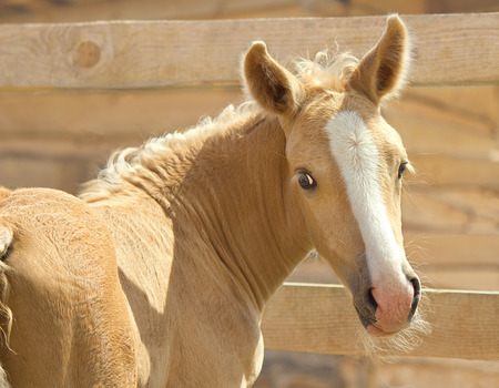 palomino: Portrait in half-turn of little palomino foal