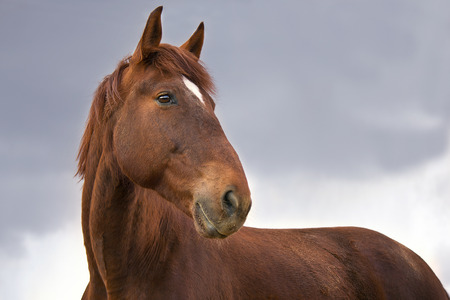 gelding: Portrait of a red horse