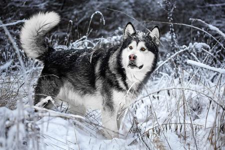 malamute: Alaskan Malamute in the forest