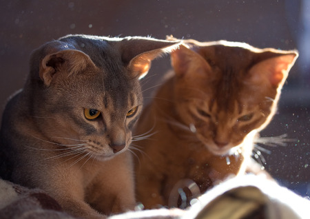 pussycat: Abyssinian on the couch