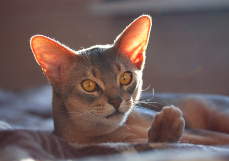 Abyssinian on the couch