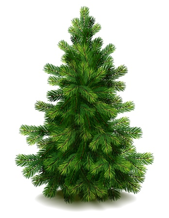 fir: Vector illustration - pine tree on white background