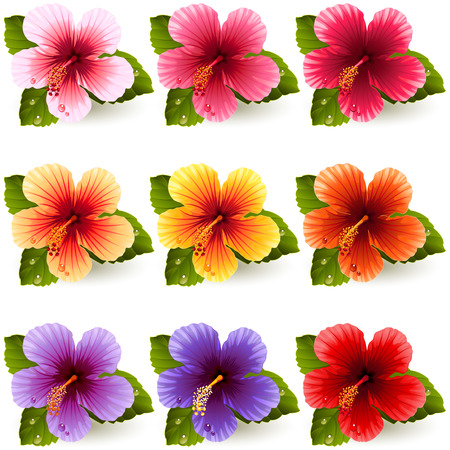 set of colorful hibiscus flowers Illustration