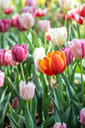 tulipan: Kwiaty tulipanów w ogrodzie miękki Zdjęcie Seryjne