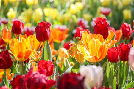 soft   focus: Tulip flowers field with sprinkle soft focus