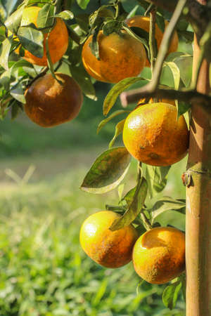 Ripe orange hanging on a tree - Vetical picture