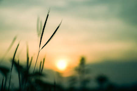sillouette: Sillouette of grass flowers at sunset time - soft focus of grass flowers shadow - background, landscape Stock Photo