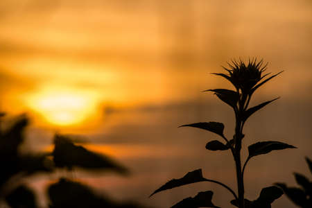sillouette: Sillouette of sun flower at sunset time - sunflower shadow at sunset time