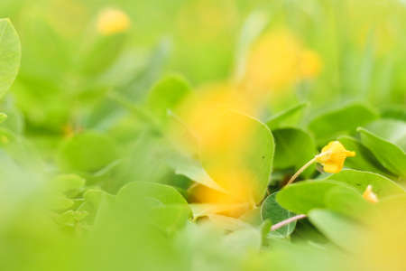 defocus: Soft focus of yellow flowers background - Nature Background