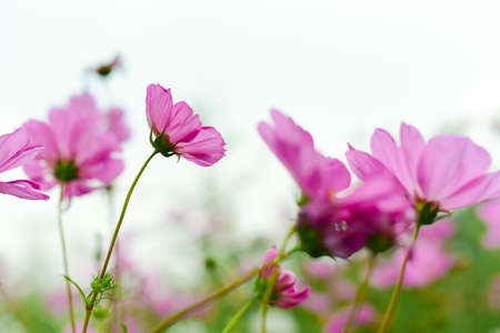 Beautiful cosmos flowers in garden for background. Selective and soft focus blurry. Vintage tone