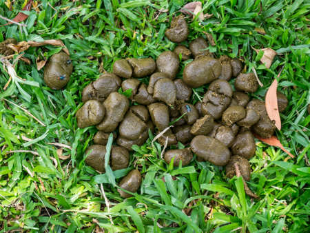 A pile of fresh horse manure is on green grass under the tree with sunlight and with flies on top. Its dung composed of fibers from grass that were eaten. Stock Photo